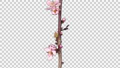 Time-lapse of blooming cherry willow branch with ALPHA Stock Footage