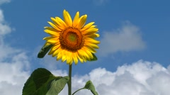 Sunflower, blue sky behind Stock Footage