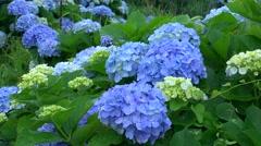 Hydrangea flowers Stock Footage