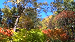 Autumn foliage, Hokkaido, Japan Stock Footage
