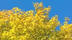 Maple leaves, blue sky Stock Footage