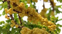 Star gooseberry Stock Footage