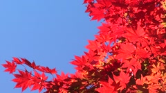 Red Maple leaves, blue sky Stock Footage
