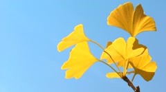Yellow Ginkgo leaves Stock Footage