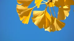 Stock Video Footage of Yellow Ginkgo leaves