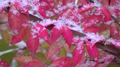 Snow falling on red Autumn leaves Stock Footage