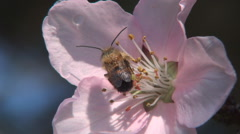 Close-up pink flower with bee, beautiful spring season. Bee collecting pollen.  - stock footage