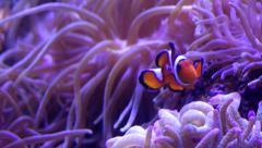 Clownfish Swimming Stock Footage