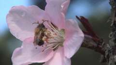 Bee sleeping in a pink flower in morning sunlight. Spring blossom season. - stock footage