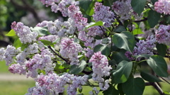 Branch of  blossoming lilac with people in the background Stock Footage