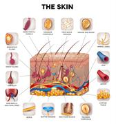 Skin anatomy, detailed illustration. Beautiful bright colors. Stock Illustration