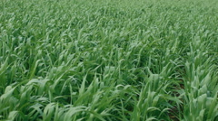 Rows in a Green Wheat Crop Stock Footage