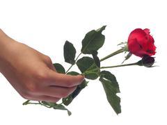 A single rose. - stock photo
