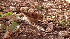 Sparrow looking for food Stock Footage
