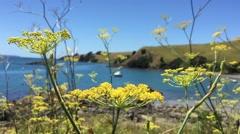 Yellow flowers at Motutapu Island Stock Footage
