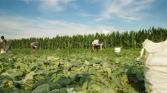 time lapse of harvest helper looking for cucumbers on plantation field - stock footage