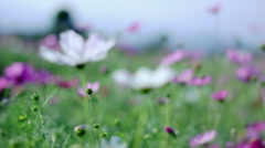 Cosmos flower Stock Footage
