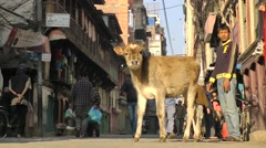 Young cow alone on street,Kathmandu,Nepal Stock Footage
