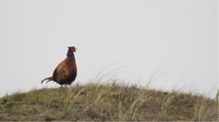 Stock Video Footage of common pheasant - Phasianus colchicus