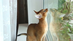 Abyssinian kitten Stock Footage