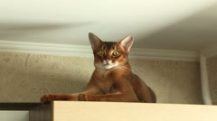 Abyssinian cat lying on the cabinet under the ceiling Stock Footage