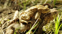 Toad with partner on back Stock Footage