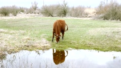 Cow nibbling grass near the water Stock Footage