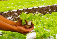 Hydroponic vegetable on hand in a garden. Stock Photos