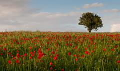 Field full of red beautiful poppy anemone and a lonely tree. - stock photo