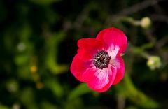 Red anemone coronaria wild flower Kuvituskuvat