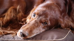 red irish setter dog - stock footage