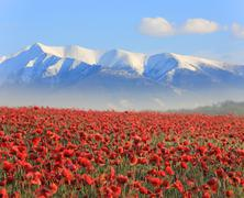 poppy flowers an mountains - stock photo