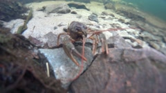 Crayfish crawing on the bottom of a river Stock Footage