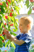 Young child picking up cherries from the tree. - stock photo