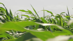 Beautiful Corn leaves Blowing in the Wind, Corn Field, Close Up Stock Footage