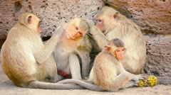 Troop of Crab Eating Macaque Monkeys in Thailand Stock Footage