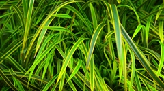 Beautiful Grass with Bicolored Leaves in Southeast Asia Stock Footage