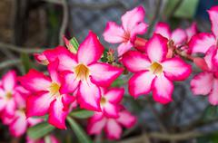 Close up Adenium obesum flower - stock photo
