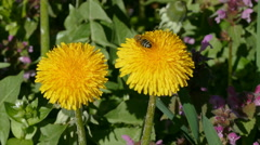 Spring flowers dandelion and bee Stock Footage