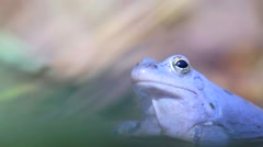 Blue frog in water (Rana arvalis) Stock Footage