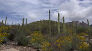 Stock Video Footage of 4K Saguaro Cactus Flowers Blustery Day Time Lapse