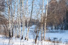 Birch alley in a winter forest Stock Photos