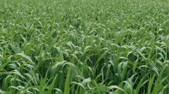 Green Wheat Crop Growing in a Paddock Stock Footage