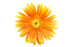 Orange gerbera daisy flower isolated on white background Stock Photos