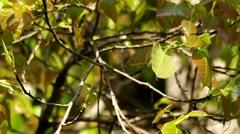 Leafs of sacred fig tree Stock Footage
