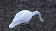 Trumpeter swan (Cygnus buccinators) / 4K wildlife footage Stock Footage