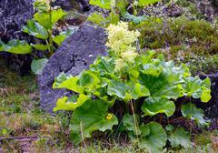 Rhubarb (Rheum altaicum L.) Stock Photos