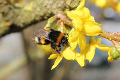 Bumblebee Sitting on a Yellow Bloom - stock photo