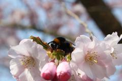 Bumblebee Sitting on a Pink Bloom of a Tree - stock photo