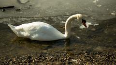 White swan swimming on frozen lake Stock Photos